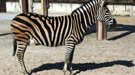 Zebra High Quality #557