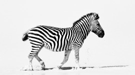 Zebra hd pictures #299