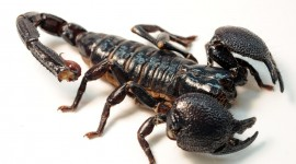 Scorpion for PC #803