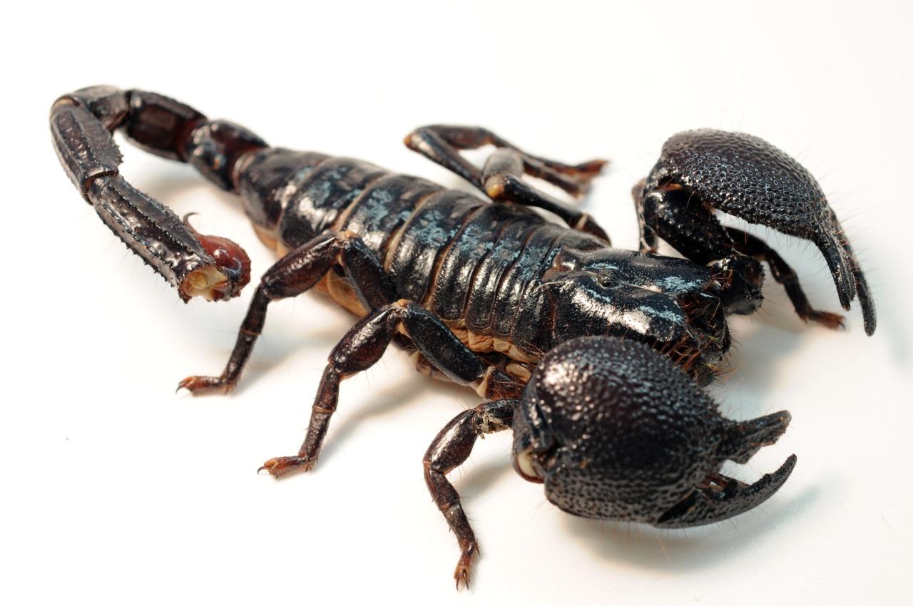 King scorpion animal - photo#39