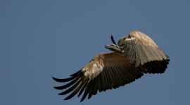 Vulture Pictures #360