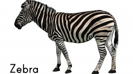 Zebra High Resolution #753