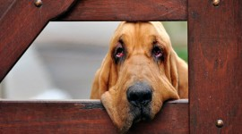 Bloodhound hd pics #886