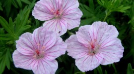 Geranium HD Wallpaper #197