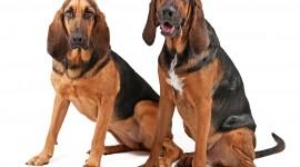 Bloodhound wallpaper 1920x1080 #969