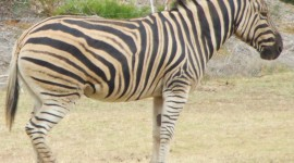 Zebra Full HD #272