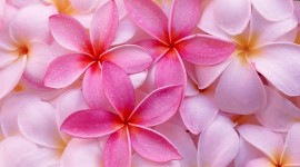 Pink Flower Image #619