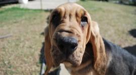 Bloodhound Full HD #654
