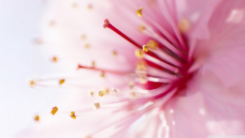 Pink Flower wallpapers HD
