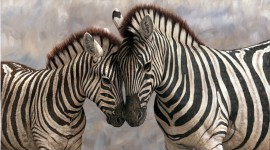 Zebra wallpaper for PC #125