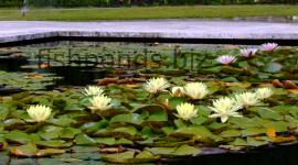 Pond 2015 #884
