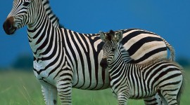 Zebra Wallpapers HD #724