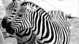 Zebra Photo #710
