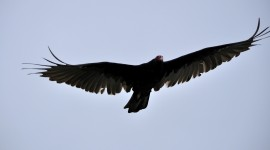 Vulture 1080p #564