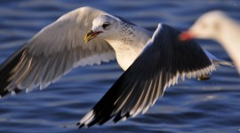 Gull Wallpapers High Definition