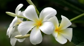 Frangipani For desktop