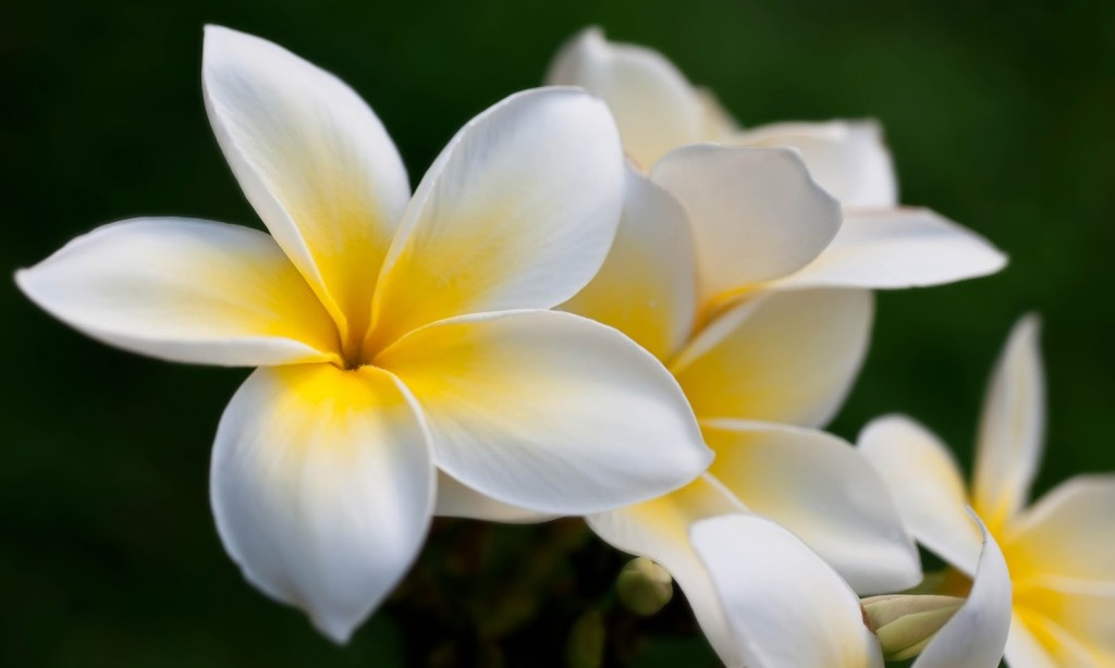 Frangipani wallpapers HD