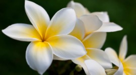 Frangipani Wallpaper High Definition