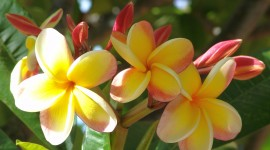 Frangipani Wallpaper For desktop