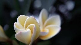 Frangipani Wallpaper Background