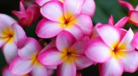 Frangipani Wallpaper Wallpapers HQ