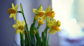 Narcissus Wallpapers Widescreen