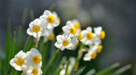 Narcissus High Definition