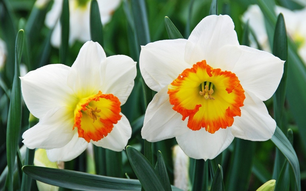 Narcissus wallpapers HD