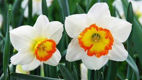 Narcissus wallpapers high quality