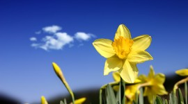 Narcissus Wallpapers Full HD