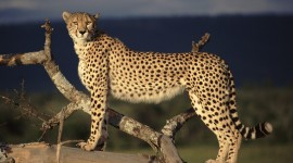 Cheetah Wallpapers HD