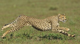 Cheetah Wallpapers Pics