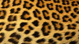 Cheetah Wallpapers Full HD