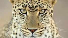Cheetah Wallpapers 1080p