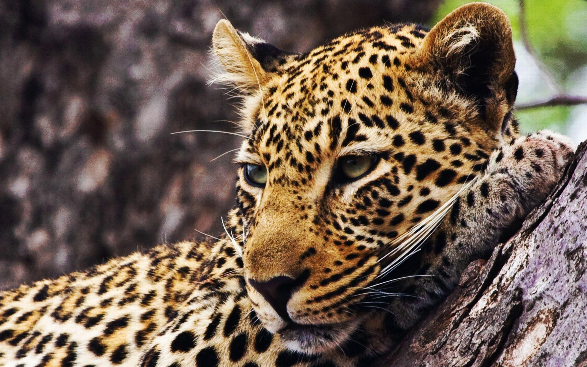 Cheetah Photos Animals Hd Wallpapers Free Download: Cheetah Wallpapers Wallpapers High Quality