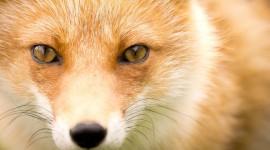 FOX Wallpaper Full HD