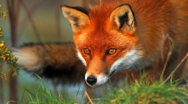 FOX Wallpaper High Definition