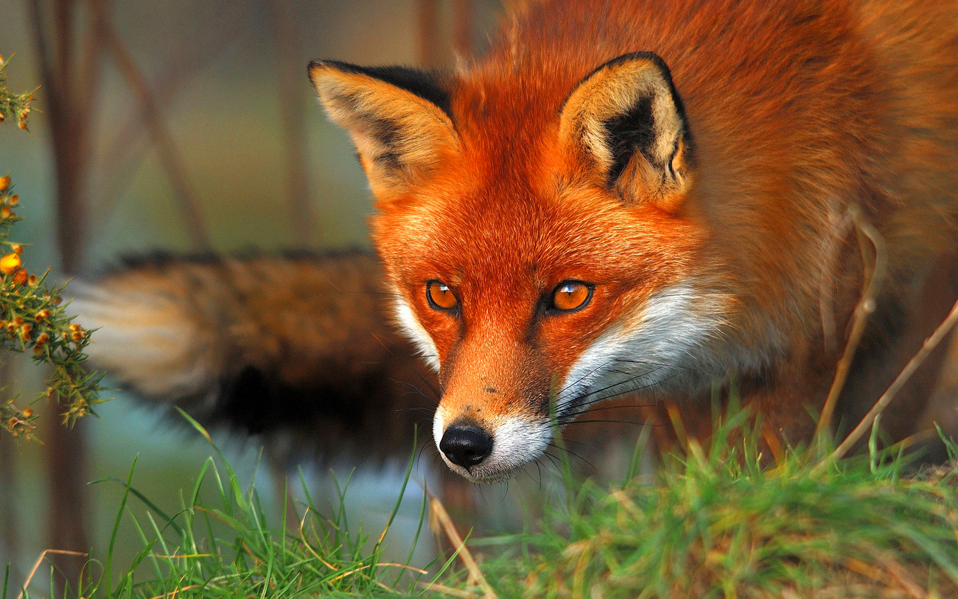 fox wallpapers wallpapers high quality download free