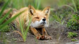 FOX Wallpaper For desktop