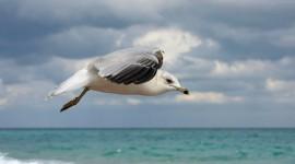Gull Pics