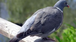 Pigeon Wallpapers Free