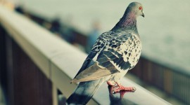 Pigeon Wallpapers High Definition