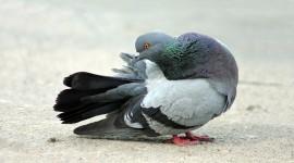 Pigeon Pics