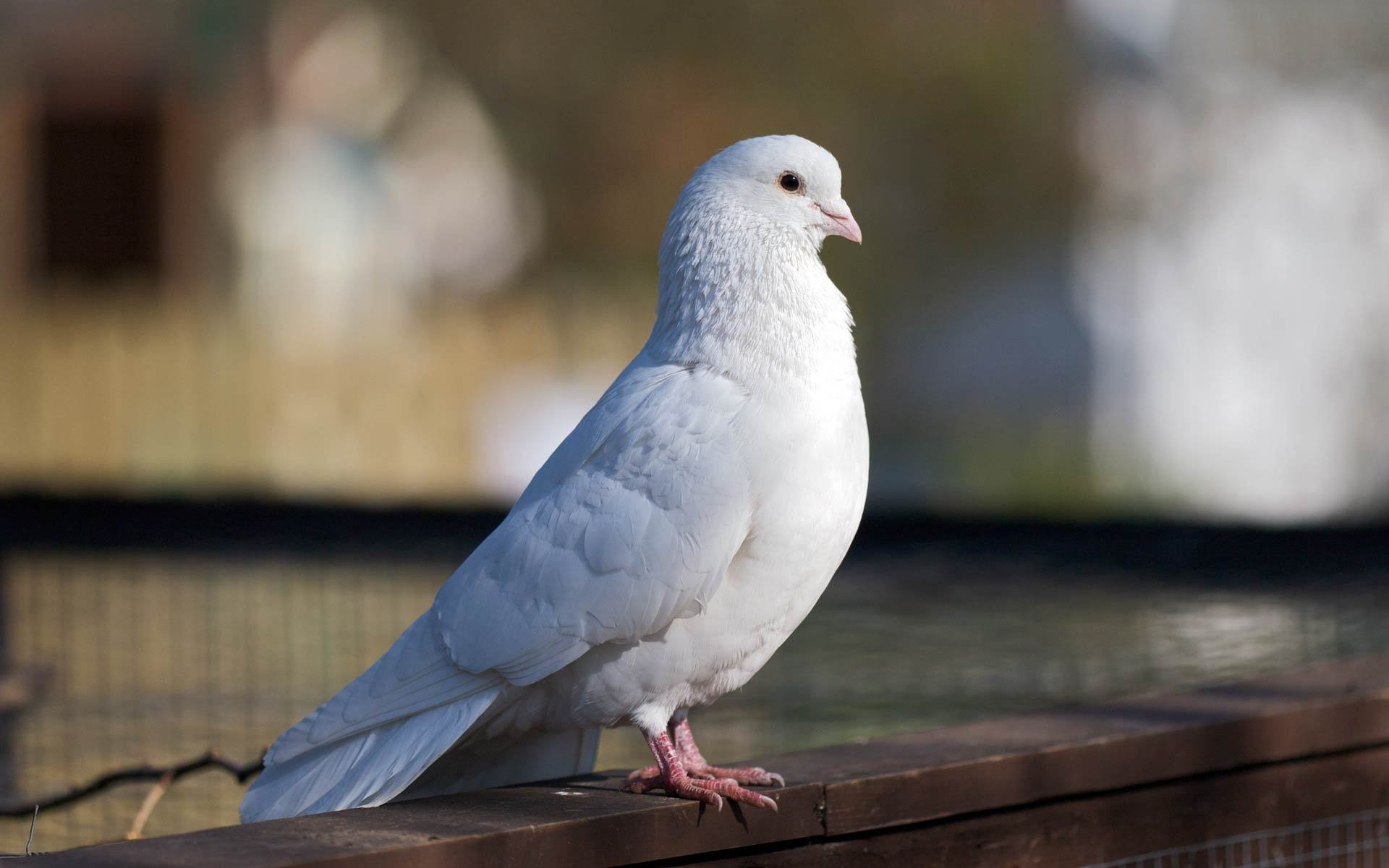 pigeon wallpapers wallpapers high quality | download free