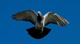 Pigeon Photos