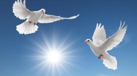 Pigeon Wallpapers For desktop