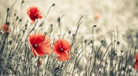 Poppies Wallpaper Free