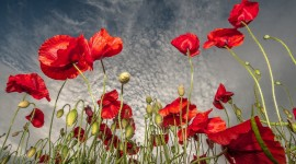 Poppies Wallpaper For desktop