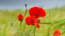 Poppies Wallpaper 1080p