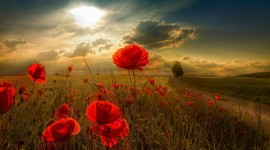Poppies High quality wallpapers